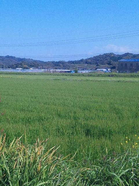 麦は青々と…